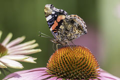 Red Admiral butterfly in profile on Echinacea flower. Red Admiral butterfly  (Vanessa atlanta) in profile, with wings up, on an Echinacea, purpurea flower Royalty Free Stock Photo