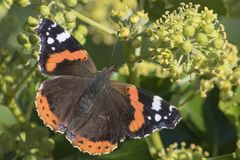 A red admiral butterfly stock images
