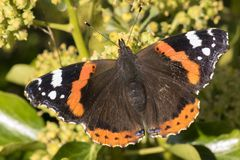 A red admiral butterfly stock photo