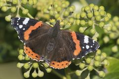 A red admiral butterfly stock photos