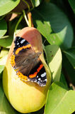 Red admiral butterfly on ripe pear Royalty Free Stock Photo