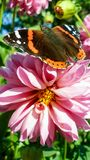 Vanessa Atalanta on pink Dahlia. Red Admiral butterfly on rosy Dahlia flower in sunny summer day. Photo in smartphone wallpaper format Stock Images