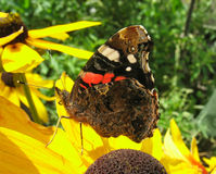 Red Admiral butterfly on Rudbekia flower Stock Image