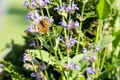 Red Admiral butterfly on a sage flower stock images