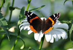 Red Admiral Butterfly on a Shasta Daisy Royalty Free Stock Photo