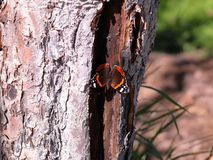 Red Admiral butterfly sitting on a tree with wings wide open. Red Admiral butterfly sitting on a trunk of tree with wings wide open stock photos