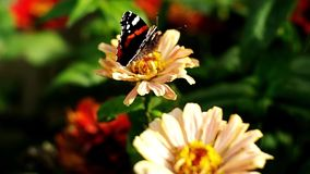 Red Admiral butterfly sitting on the Zinnia flower and flying away. Red Admiral butterfly flying away stock footage