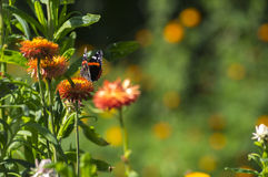 Red Admiral butterfly on Strawflower Stock Photo