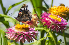 Red Admiral butterfly on Strawflower Royalty Free Stock Images