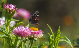 Red Admiral butterfly on Strawflower Royalty Free Stock Photography