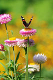 Red Admiral butterfly on Strawflower Stock Photography