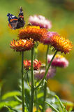 Red Admiral butterfly on Strawflower stock images