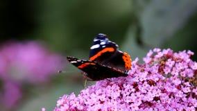 Red Admiral butterfly sucks nectar in Buddleja flower stock video