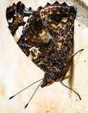 Red Admiral butterfly underside Royalty Free Stock Image