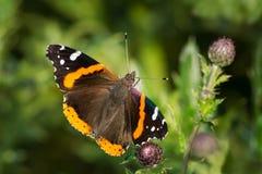 Free Red Admiral Butterfly - Vanessa Atalanta Royalty Free Stock Photography - 103310747