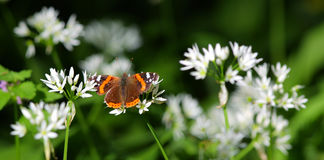Red admiral butterfly vanessa atalanta Royalty Free Stock Images