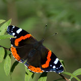 Red Admiral Butterfly (Vanessa atalanta). The beautiful red admiral butterfly resting in the bush after a meal of plum. Uppland, Sweden royalty free stock images