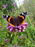 Red Admiral Royalty Free Stock Images