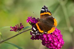 Red Admiral Butterfly - Vanessa atalanta. Red Admiral Butterfly collecting nectar from a purple Butterfly Bush flower. Rosetta McClain Gardens, Toronto, Ontario royalty free stock images