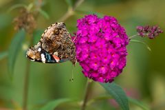 Red Admiral Butterfly - Vanessa atalanta. Red Admiral Butterfly collecting nectar from a purple Butterfly Bush flower. Rosetta McClain Gardens, Toronto, Ontario royalty free stock photo