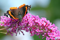 Red Admiral butterfly (Vanessa atalanta) Stock Photography