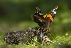 Red admiral butterfly, Vanessa atalanta Royalty Free Stock Images