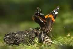 Red admiral butterfly, Vanessa atalanta. Feeding on fox faeces Royalty Free Stock Images