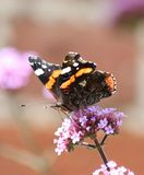 Red Admiral Butterfly (Vanessa atalanta). Red Admiral Butterfly feeding on a pink flower. Picture taken in Gloucestershire, England in August Royalty Free Stock Photo