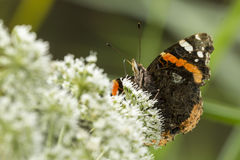 Red Admiral butterfly, Vanessa atalanta Stock Images