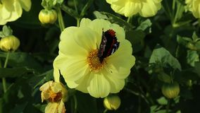 Red Admiral butterfly Vanessa atalanta gathers nectar on yellow flower of Dahlia stock video footage