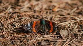 Red admiral butterfly Vanessa atalanta landed on leafy ground Stock Image