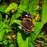 Red Admiral Butterfly or Vanessa atalanta on leaves close-up, selective focus, shallow DOF.  royalty free stock photo