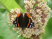 Red Admiral Butterfly (Vanessa atalanta) on milkweed flower Royalty Free Stock Images