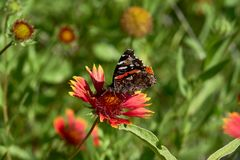Red admiral butterfly Vanessa atalanta perched on a Fireweel Indina Blanket Gaillardia Flower stock image