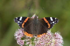 Red Admiral butterfly, Vanessa atalanta, pollinating Royalty Free Stock Photo