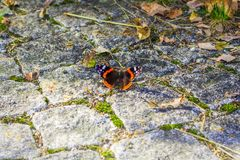 Red admiral butterfly Vanessa atalanta stock photography