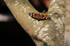 The Red admiral butterfly Vanessa atalanta sits on a gray maple tree on a sunny day stock images