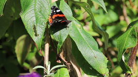 Red Admiral butterfly. Vanessa atalanta. A red Admiral butterfly sitting on a leaf in the sunshine in the United Kingdom. The butterfly is resting and opens its stock footage
