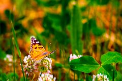 Red Admiral Butterfly - Vanessa atalanta sitting on wildflower. In forest, entomology, insect, nature, summer, wildlife, green, antenna, beauty, foliage, wings royalty free stock photo