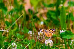 Red Admiral Butterfly - Vanessa atalanta sitting on wildflower. In forest, entomology, insect, nature, summer, wildlife, green, antenna, beauty, foliage, wings royalty free stock image