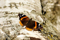 Red admiral butterfly. Vanessa atalanta, on white bark of a paper birch tree stock image