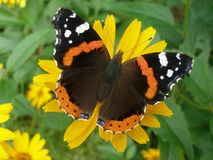 Red Admiral butterfly. Vanessa Atalanta butterfly on yellow flower Royalty Free Stock Photo
