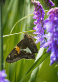 Red admiraL butterfly (vanesse). A red admiral butterfly is pumping nectar out of meadow clary flower growing in a field of green foliage and display the outer Stock Image