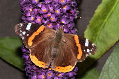 Red admiral butterfly. Stock Image