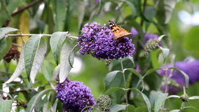 Red Admiral butterfly walks over pink Buddleja flower stock video