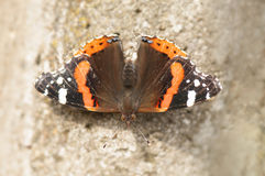 Red Admiral Butterfly. Red-Admiral Butterfly warming under the sunrays (Vanessa atalanta stock images