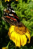 Vanessa Atalanta on withered Coneflower. Red Admiral butterfly on withered yellow Coneflower flower. Photo in smartphone wallpaper format Royalty Free Stock Image