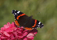 Red Admiral butterfly Royalty Free Stock Images