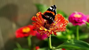 Red Admiral butterfly on the Zinnia flower and flying away. Red Admiral butterfly flying away stock video
