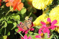 Red Admiral Butterfly on Zinnia flower Royalty Free Stock Photo